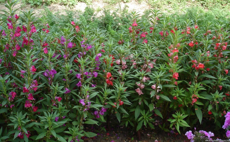 Бальзамин камелия: выращивание из семян, посадка и уход 57