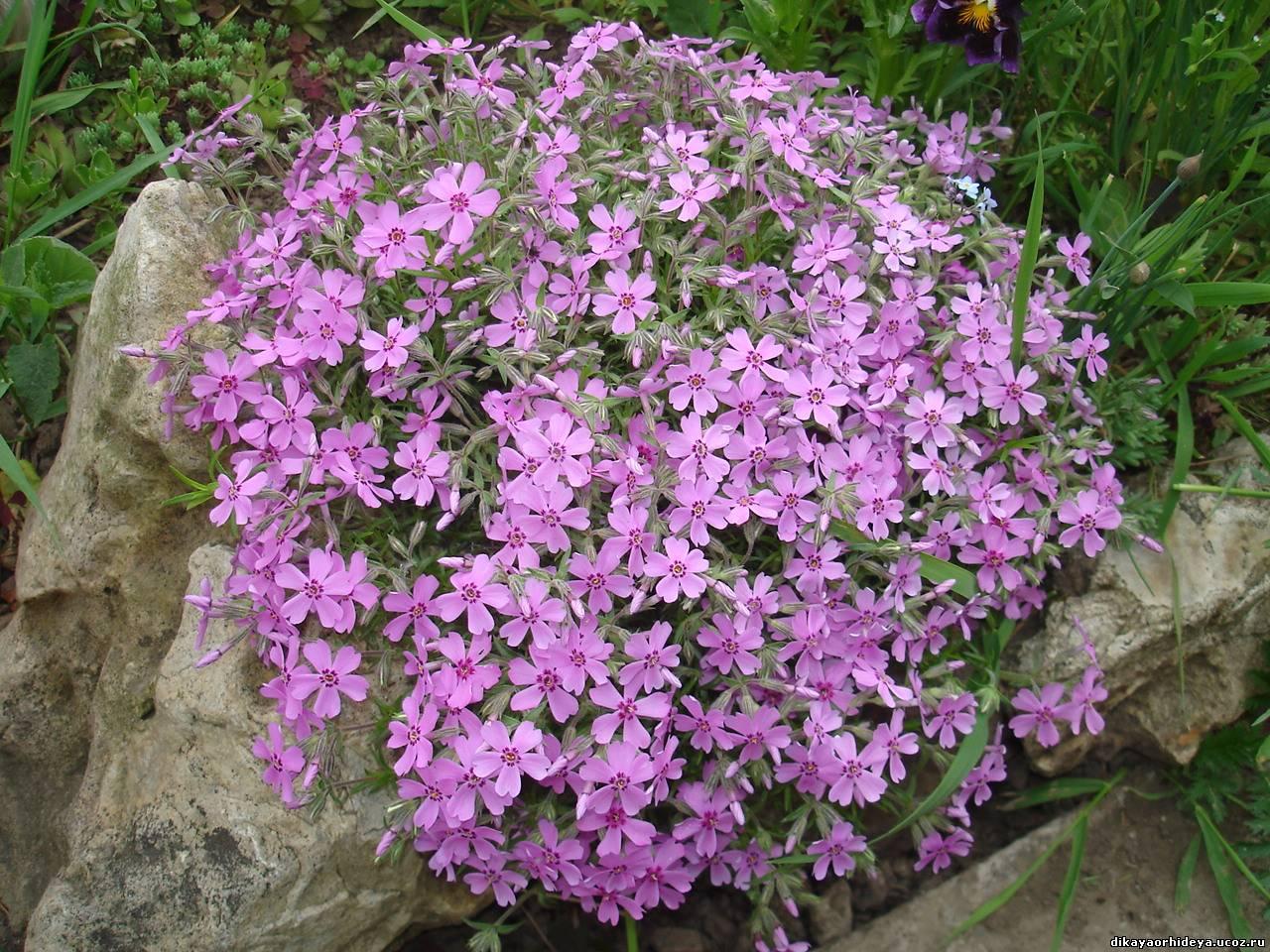 Цветок ползучий флокс фото