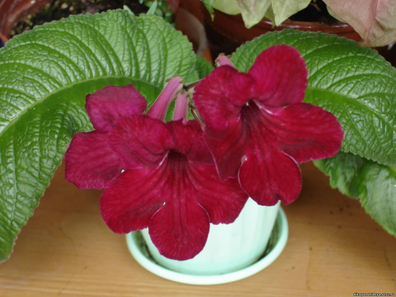 Комнатный цветок стрептокарпус: фото сортов с описанием, размножение и 34